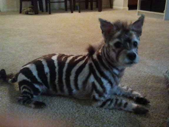 Dog Halloween Costume Contest: Envy the Zebras   ...........click here to find out more     http://googydog.com