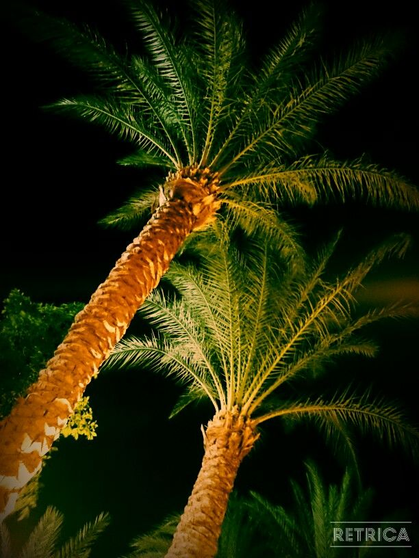 Egyptian palm trees, Hurghada