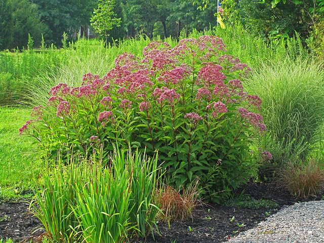 124 best images about native perennials on pinterest