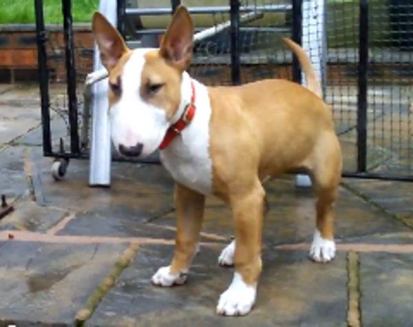 Full Size Vs Miniature Bull Terrier 17+ best ideas ...