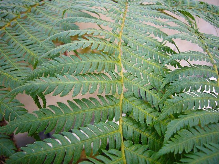 How to Grow Australian Tree Fern