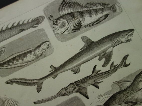 Old pictures of fishes sharks hammerhead by DecorativePrints