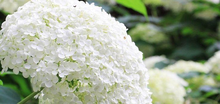 Checklist - Hortensia snoeien | MijnTuin.org