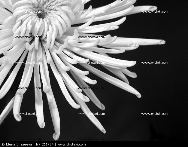 http://www.photaki.com/picture-chrysanthemum-white-black-blooming_211784.htm