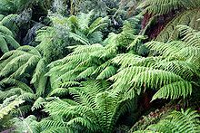 Dicksonia antarctica (soft tree fern, man fern) is a species of evergreen tree fern native to eastern Australia, ranging from south-east Queensland, coastal New South Wales and Victoria to Tasmania.