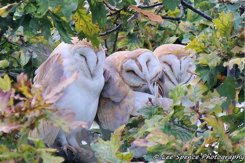Barn owls BBC Winterwatch | Flickr - Photo Sharing!