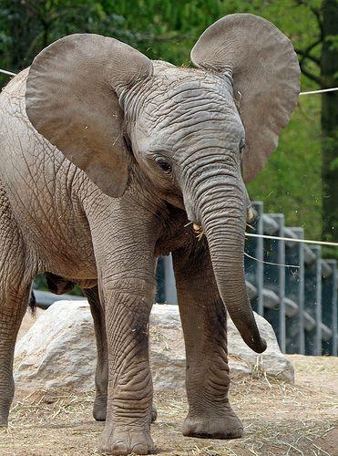 afrikaanse olifant IMG_0845 | par j.a.kok