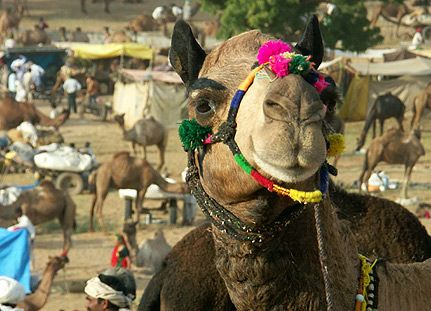 "The Pushkar Fair is the annual five-day camel and livestock fair, held in the town of Pushkar in the state of Rajasthan, India. It is one of the world's largest camel fairs, and apart from buying and selling of livestock it has become an important tourist attraction and its highlights have become competitions such as the ""matka phod"", ""longest moustache"", and ""bridal competition"" are the main draws for this fair which attracts thousands of tourists."