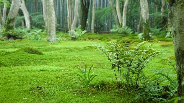 Trend: Mos in je huisMos als gazonnetje   : Wordt gebruikt in Japanse tuinen als bodembedekker. In plaats van gras, gebruiken we mos. We hebben wel 6 verschillende soorten mos in de tuin, levertjesmos, sterretjesmos, saginamos, varentjesmos, vogeltjesmos, en kussentjesmos. Mos vraagt nauwlijks onderhoud, het is wel belangrijk dat je het vochtig houdt. Voor we het mos planten, hebben we de grond verzuurd met tuinturf en zure bosgrond, dat werkt prima.