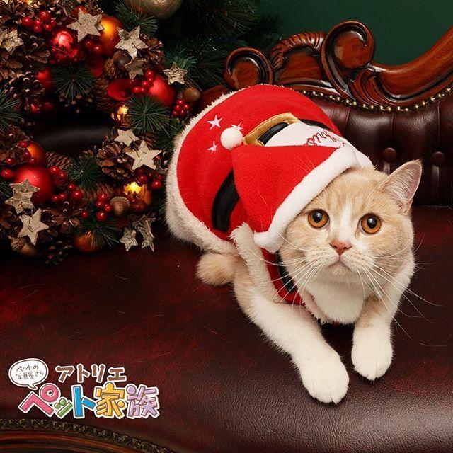 🎄Merry Christmas🎄 . 皆さまおはようございます☀️ 今日はクリスマスですね✨ 曜日的には一昨日や昨日のイブにクリスマスを楽しまれた方が多かったのではないでしょうか❓🍗🎂 しかし❗️ 本日までがクリスマスでございます‼️ . 今回のモデルはブリティッシュスコティッシュフォールドの じろうちゃん🐱 サンタの衣装が可愛い🎅✨ きっと昨夜は素敵なプレゼントを配ってくれたことでしょう……☺️🎁 . . . さて、お話変わりまして、ペット家族フォトコンテストが本日までとなっております‼️ まだまだ間に合いますよ〜〜❗️ 「ほっこり」するお写真、是非投稿ください😉 詳細は1つ前の投稿記事やプロフィール画面を見ていただければ幸いです🙇♀️ お待ちしております🌟 . . #いぬ #いぬバカ部 #わんこ #ねこ #ねこ部 #catstagram #いぬのいる暮らし #dogstagram #いぬ部 #ペット撮影会 #ペット撮影 #ペット家族 #アトリエペット家族  #christmas #クリスマスツリー #愛猫 #ねこ部 #クリスマス…