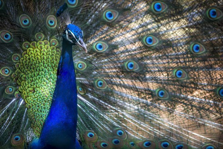 Indian Peafowl by Ritesh Niranjan on 500px