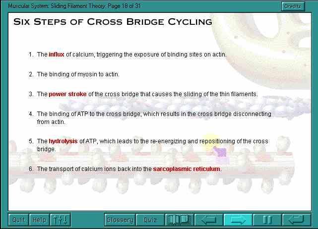 "sliding filament model > ""steps of cross bridge cycling"""
