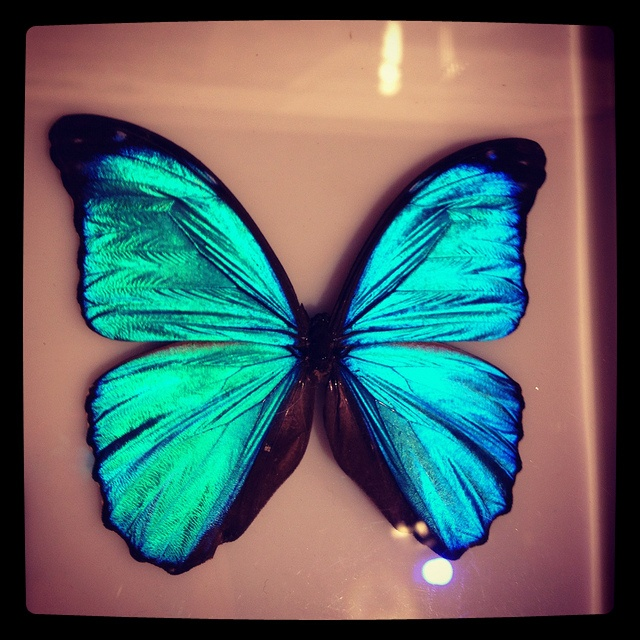 Blue butterfly there is memom for you a big blue butterfly for Grasshopper tattoo supply