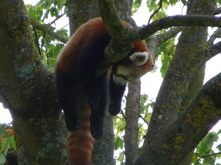 Red Panda. Cutest animal ever - Album on Imgur