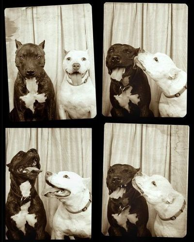 Vintage photo booth + two pitbulls = adorableness