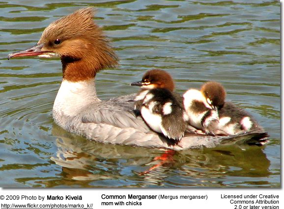 Female Merganser - so easy to spot - the red head reminds me of Lucille Ball