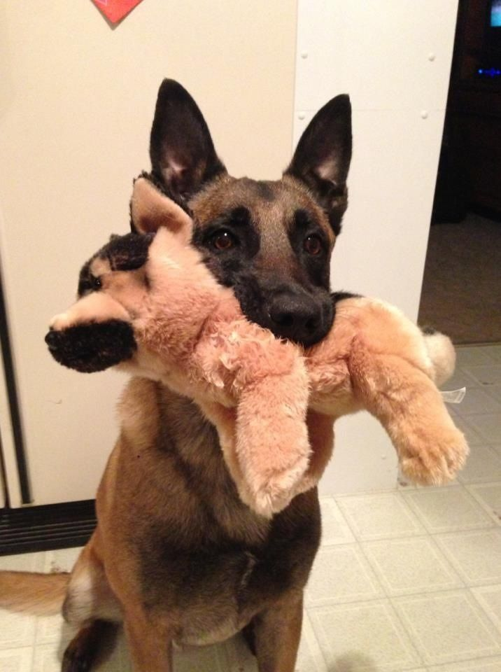 GSD's can retrieve too…..Oh Lord…now I know I can't get Celia a GSD from Build-A-Bear. Conner already commandeers her stuffies as his babies….