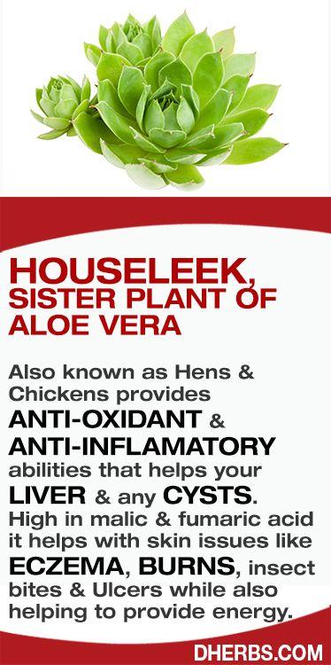 bccc52fbf998c4b9a5cd00e64ab25ef6--insect-bites-home-remes Houseleek Plant Fights Cysts on birch plant, yarrow plant, perennial plant, goat's beard plant, poppy plant, sage plant, gold flower plant, lemon balm plant, hops plant, lemon verbena plant, holly plant, thyme plant, catmint plant, scilla violacea plant, hellebore plant, hyssop plant, lady's mantle plant, daffodil plant, bottling plant,