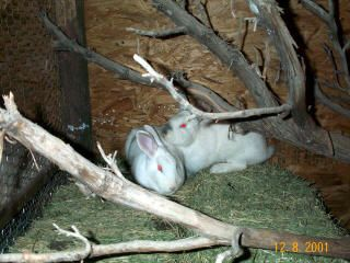 """The Kitchen Chronicles: """"Colony-Style"""" Rabbit Keeping"""