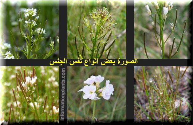 الحرف او الكاردامين Cardamine النباتات النبات انواع الاسماك مع الصور معلوماتية نبات حيوان اسماك فوائد Plants