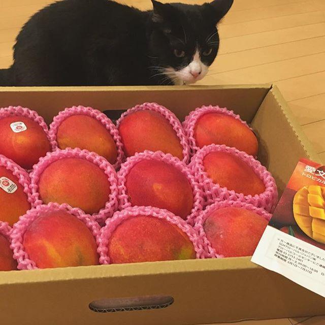 台湾の友人キキから今年も #愛文芒果 が届きました。自分じゃマンゴーなんて買えないので感謝感謝です。 台湾はビックリするくらいマンゴーが安くて去年台湾に行ったときはアレルギーが出るくらい毎日食べまくっていました。 また台湾行きたいな♫  #猫#ねこ #cat #ねこ部 #元野良猫 #保護猫 #黒猫 #デブ猫 #愛猫 #日本猫 #はちわれ #クロ #tuxedocat #catstagram #マンゴー #mango #芒果 #愛文芒果 #台湾産