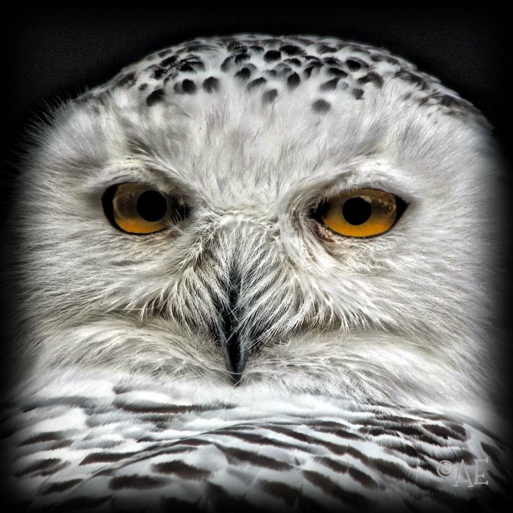 Snowy Owl by AngelEowyn