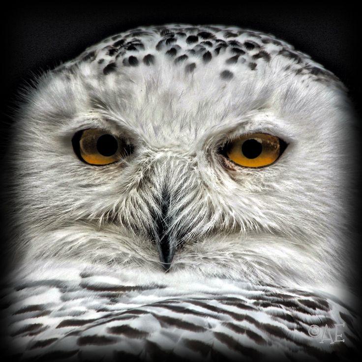 Snowy Owl by AngelEowyn
