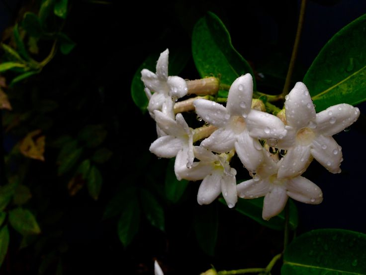 Madagascar jasmine , beautiful flowers with a subtle scent !