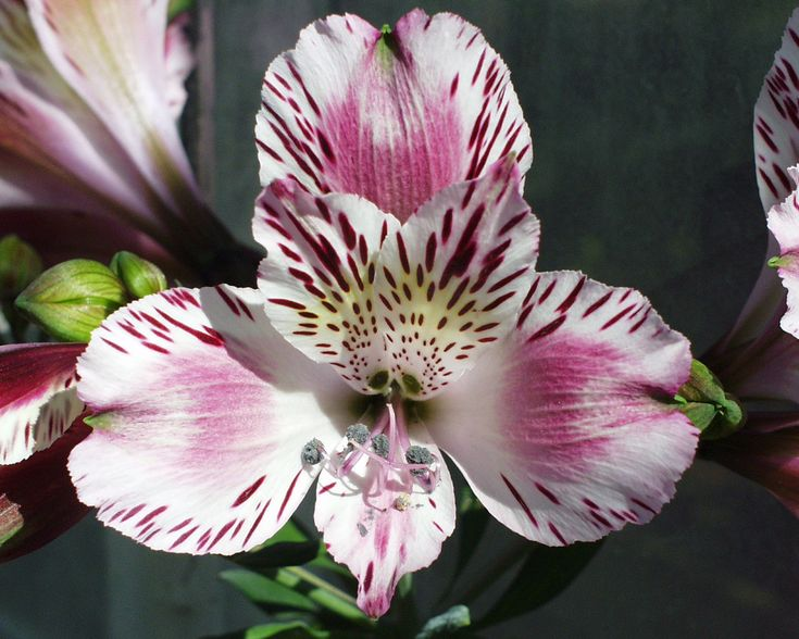 57 best alstroemeria images on pinterest beautiful flowers flowers garden and pretty flowers. Black Bedroom Furniture Sets. Home Design Ideas