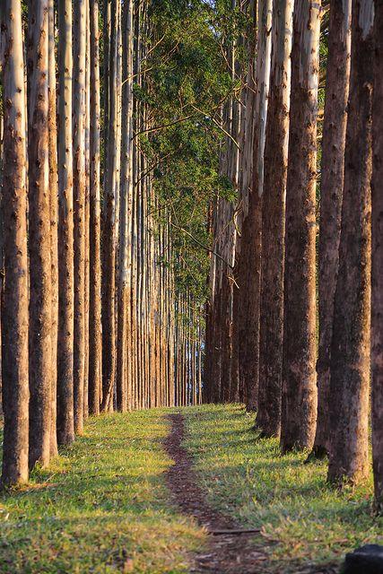 Eucaliptus.Colombia