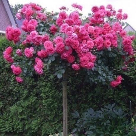 Штамбовая роза и красивые идеи для дачи
