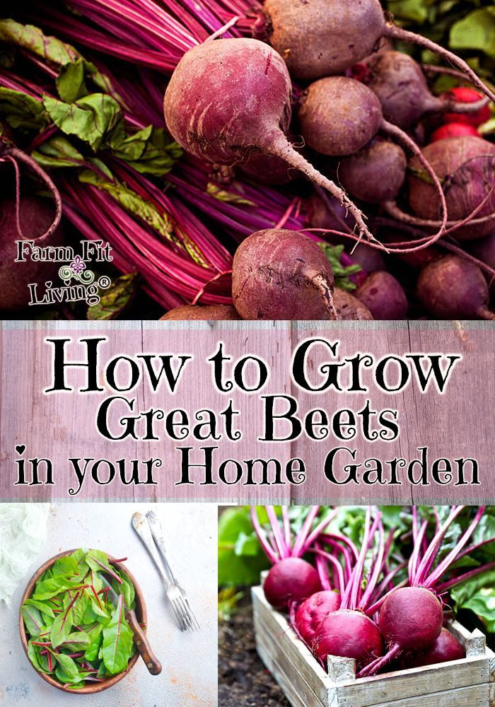 Are You Looking For The Right Tips And Tricks To Grow Great Beets Wherever You Are I Share My S Organic Gardening Tips Vegetable Garden Tips Organic Gardening
