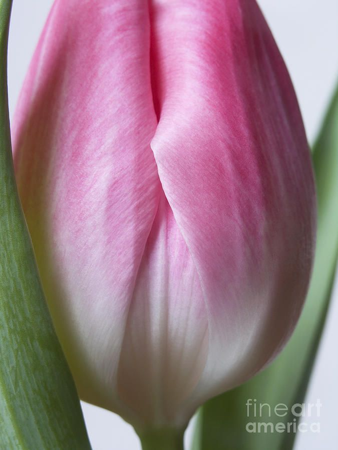 Flower Photograph - Close Up Pink White Tulips Flowers Macro Photography Art Work by Artecco Fine Art Photography