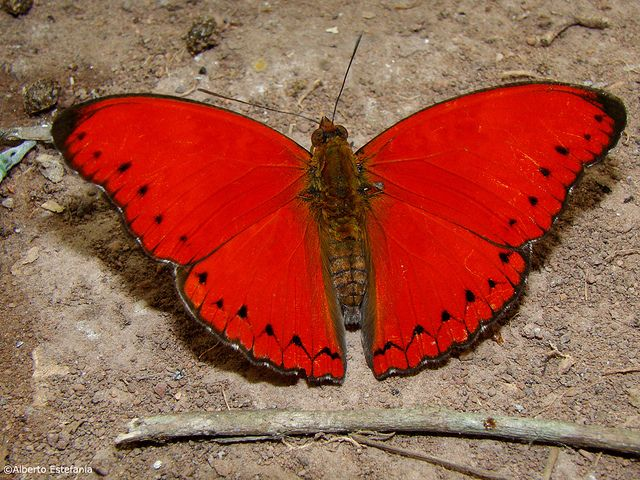 Blood RedGlider - Cymothoe sangaris The genus Cymothoe (Nymphalidae) is a group of large and magnificent butterflies entirely Afrotropical in distribution.