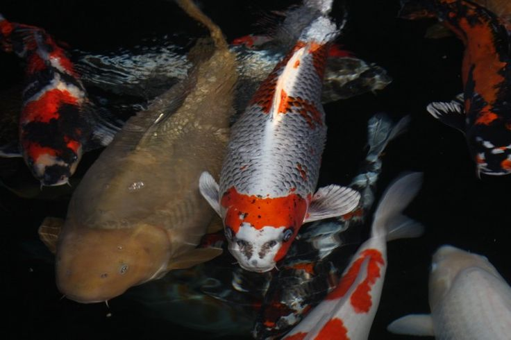 Carpes koi carpes ko pinterest poisson ko for Poisson koi aquarium