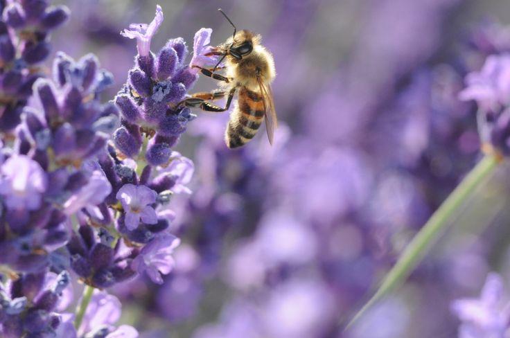#pszczoła #bee #flower #natura #natura