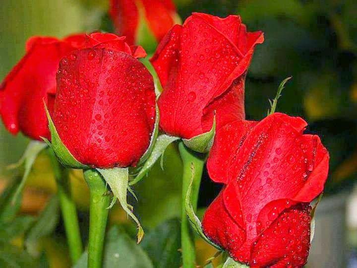Amar, Vivir, Sentir y Sonreir: Hermosas rosas! las mas hermosas de facebook :D-click para ver