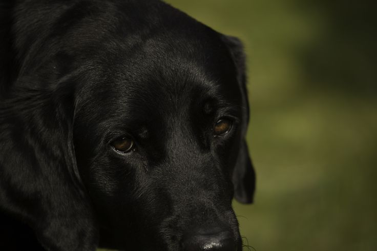 An astonishing level of detail in this close-up image of a black labrador, great work by blind photographer Chris