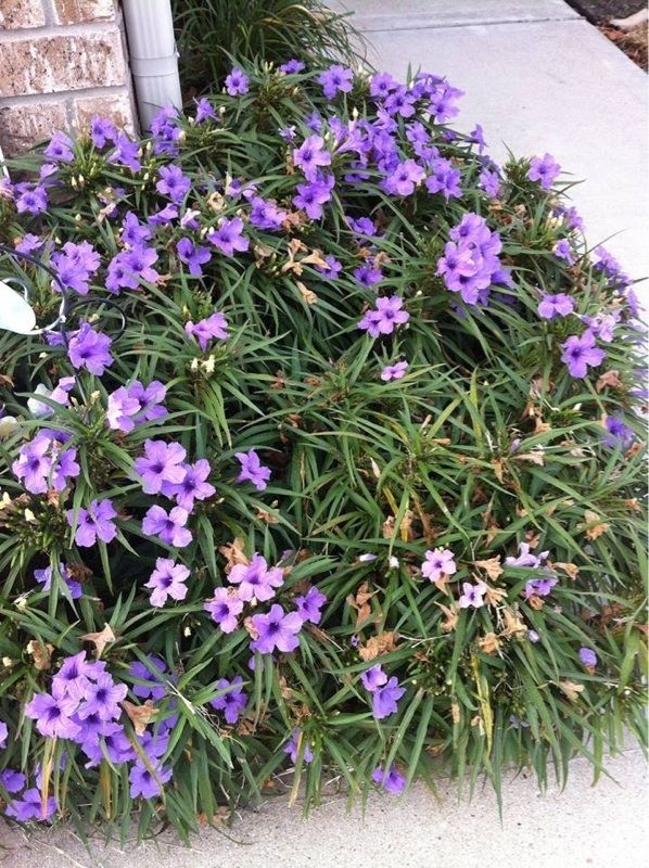 Mexican Petunia Ruellia Brittoniana Katie This Is A