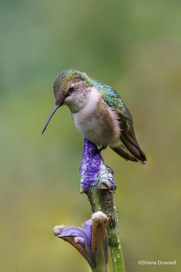 Hummingbird on Iris,