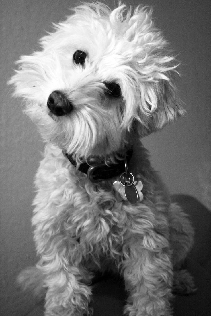 Shaggy Westiepoo My Photograpy Pinterest Dog Poodle
