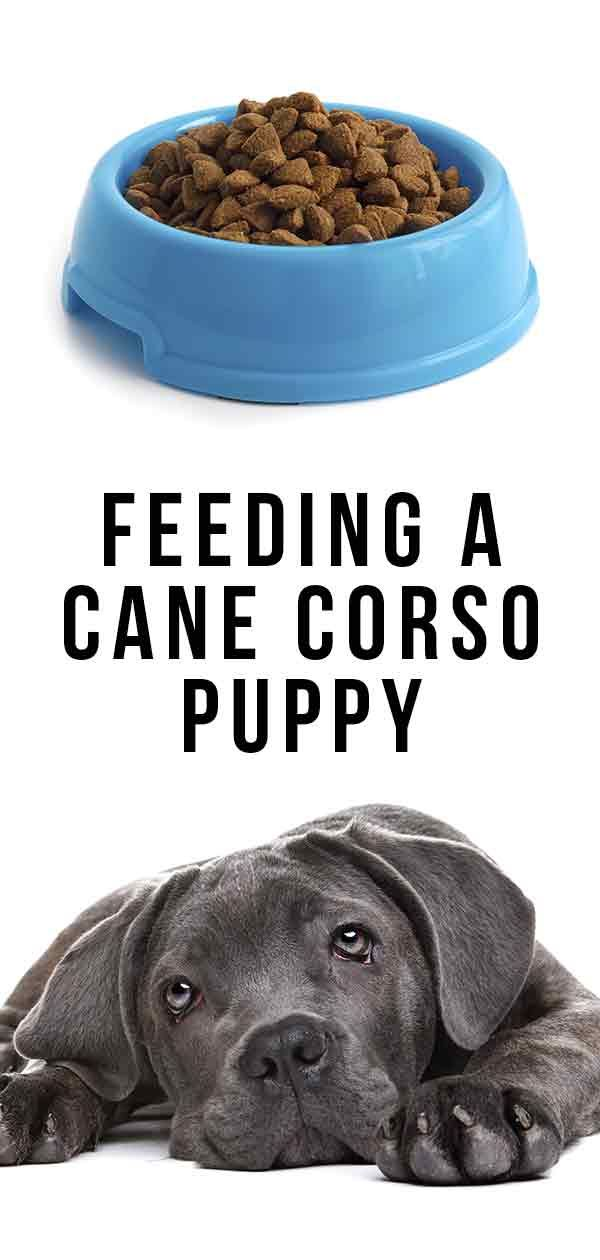 Feeding A Cane Corso Puppy How To Look After Your New Best