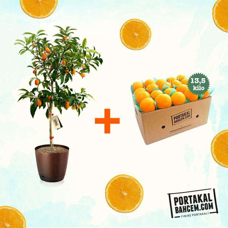 """""""Nisan ayı boyunca"""" Kumkuat fidanının hediyesi, 13.5kg Finike portakalı  ► http://www.portakalbahcem.com/urun/kumkuat-fidani/"""
