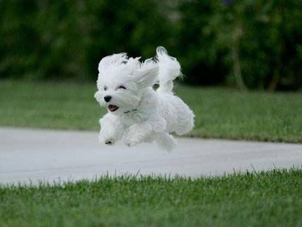 : Flying, Happy Puppys, So Happy, Baby Animal, Cute Animals, Dogs Lovers, Little Puppys, Malt Puppys, Dogs Photo