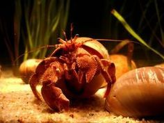 Article on How to Tell How Old Your Hermit Crab Is