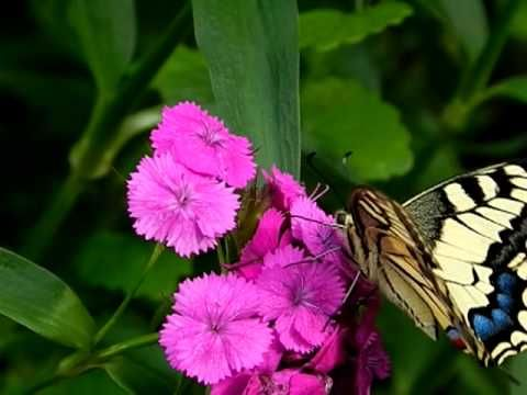 Video - Butterfly drinking from a flower [Slow motion] Nikon Coolpix P90 - YouTube