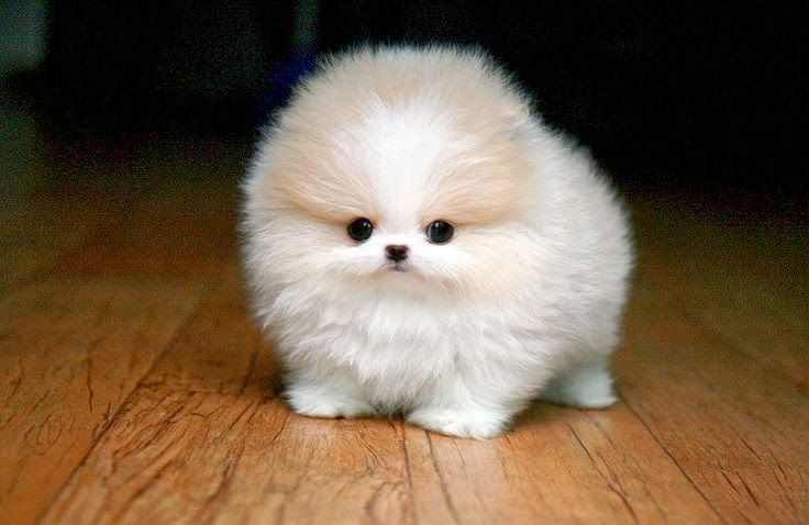5 Cutest Teacup puppies you have ever seen | Puppy#01