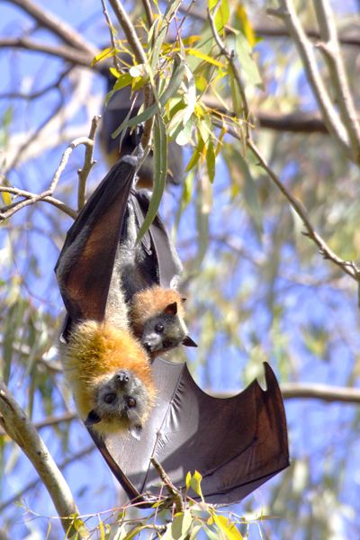 Original image of mother and kit, grey headed FLYING FOXES, taken by Dr. Joseph McGinn.  PHOTO HOTSPOT TIP -- There's a site in AUSTRALIA, right outside MELBOURNE, where you can walk right up and photograph an immense colony of flying foxes in the trees!  So cool!  Location and viewing tips at http://www.examiner.com/travel-in-national/flying-foxes-australia-picture
