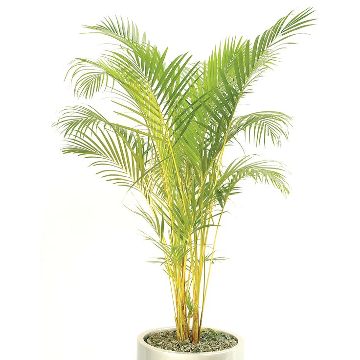 Large Pots x 2 Bamboo Palms x 2