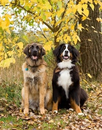 Leonberger and Bernese Mountain Dog. They are almost like our Xasha (bernese mountaindog) and our filou (Leonberger)